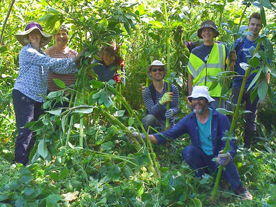 A photo of people clearing invasive Himalyan balsam